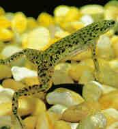 Meet my Frogs : African Dwarf Frogs