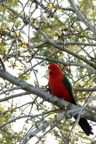 IMG 4052 Australian Male King Parrot