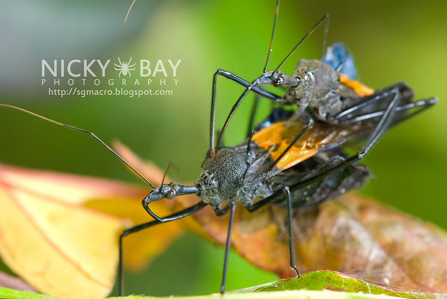 Assassin Bug (Reduviidae) - DSC_8170