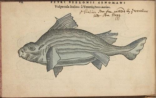 Vulpecula Italica (Porco marino)