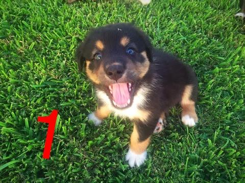View Ad: Australian Shepherd Puppy for Sale, Victoria Australia