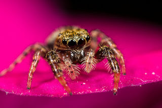 Jumping Spider #1