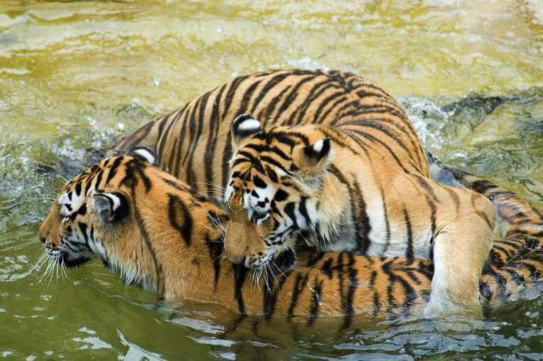 Tiger numbers on the rise in India