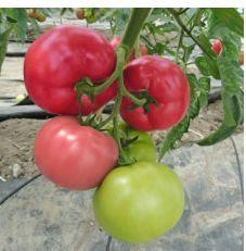 Pomidor Mei Shuai F1 Malinowy 250 Szt De Ruiter Seeds Nasiona