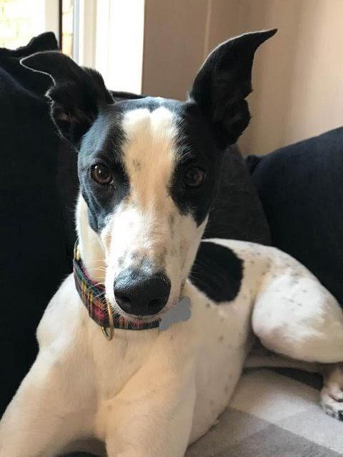 Pixie – 2 year old female Greyhound