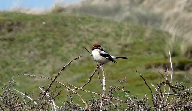 24170 - Woodhcat Shrike, Llangennith Moor, Gower