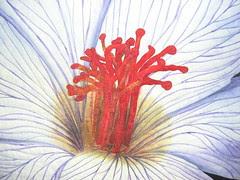 Hibiscus (detail)
