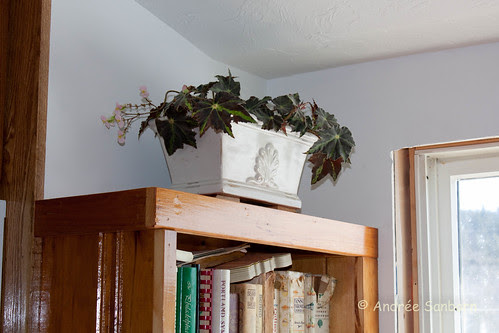 Angel Wing Begonia (2 of 2).jpg