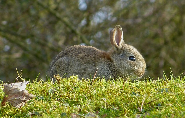 25776 - Rabbit, WWT Llanelli