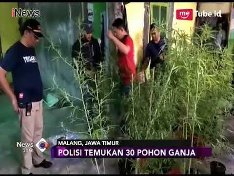 Polisi Temukan Kebun Ganja di Malang