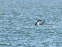Common Loon