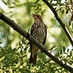http://upload.wikimedia.org/wikipedia/commons/thumb/e/ea/Song_Thrush_%28Turdus_philomelos%29_singing_in_tree.jpg/240px-Song_Thrush_%28Turdus_philomelos%29_singing_in_tree.jpg?uselang=nl