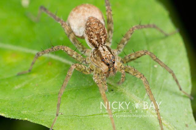 Wolf Spider (Lycosidae) - DSC_0726