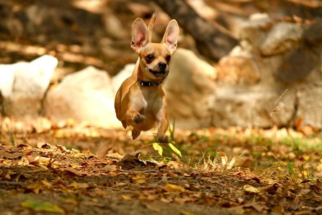 """Chugsy"" of Arizona - For Most Adorable Dog"