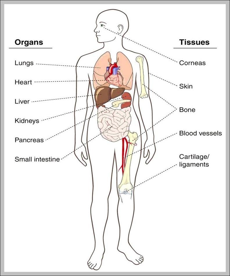 chart of human body - human anatomy  human anatomy