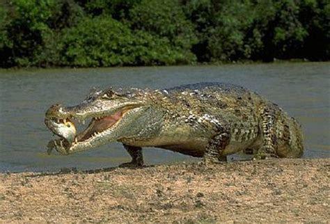Caiman   Animal Wildlife