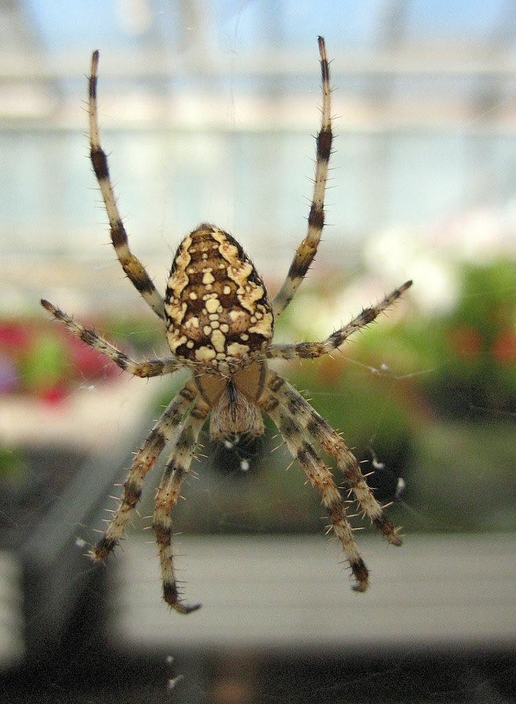 A European Garden Spider