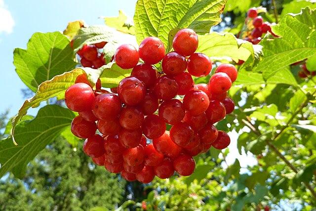http://upload.wikimedia.org/wikipedia/commons/thumb/8/8e/Bacche_Rosse.jpg/640px-Bacche_Rosse.jpg