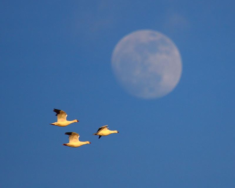 IMG_5408 Ross's Geese, Sacramento National Wildlife Refuge