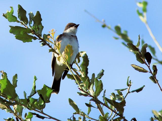 Eastern Kingbird 20130917