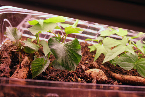 sweet potato sprouts 165