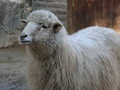 Navajo Churro Sheep