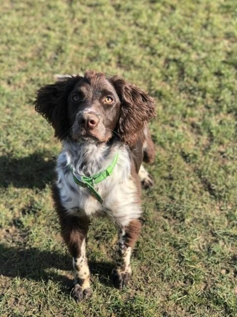 Toby – 8 month old male Spaniel Cross
