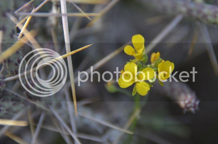 photo Maricopa.yellow flower_zpsstyqma4j.jpg