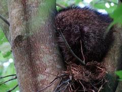 Raccoon in robins nest