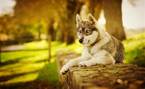 husky dog wallpapers screensavers wallpapersafari