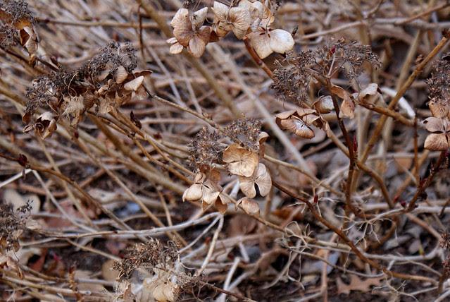 dried hyacinth