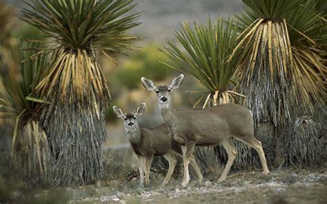 hd mule deer  yucca chihuahuan desert mexico