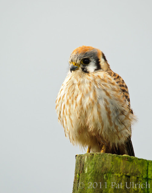 American Kestrel in Point Reyes National Seashore - Pat Ulrich Wildlife Photography