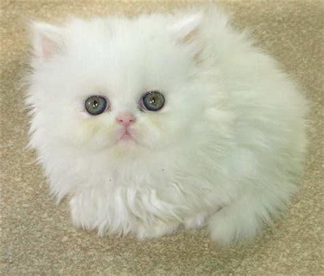 top liste die beliebte katzenrassen der welt kunstopde
