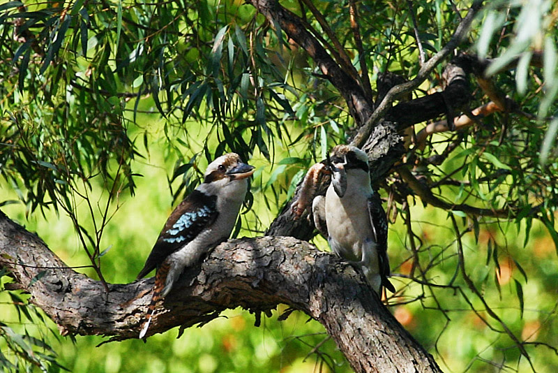 File:Kookaburra-12.jpg