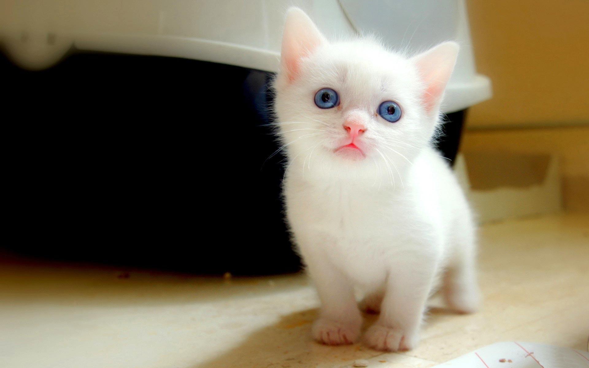 White Cats Wallpaper Hd
