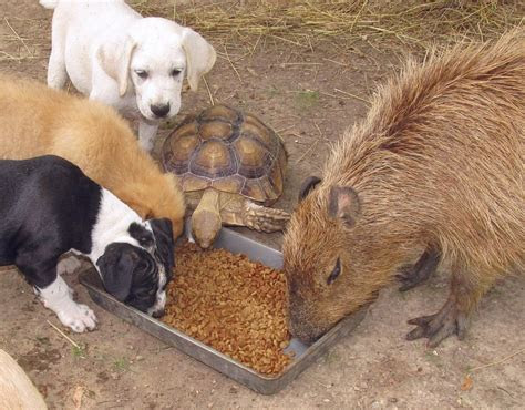 Caring capybara plays mom to other animals at refuge   Storytrender