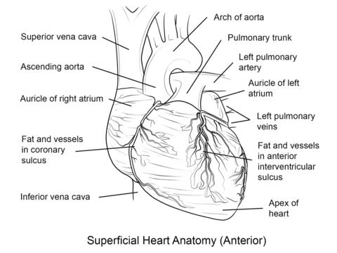 Dibujo De Corazón Humano Para Colorear Dibujos Para Colorear