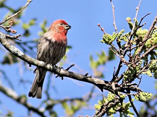 House Finch male COREL 20130514