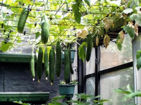 Best Way to Grow Cucumbers