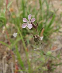 common catchfly