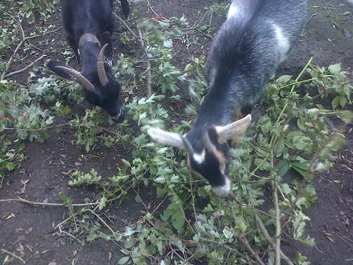 goats Sept 13 7