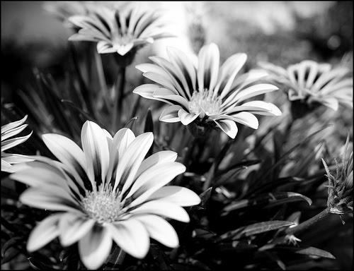 Imagenes De Flores Blanco Y Negro Tumblr