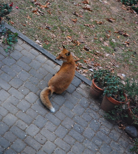 Juvenile Red Fox at Daylight | December 2010