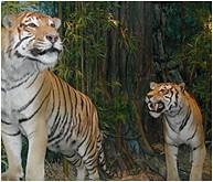 diorama tigri