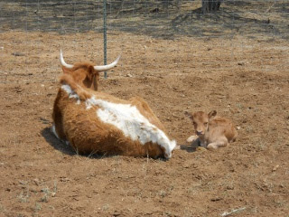 New Longhorn Heifer Calf Caramela