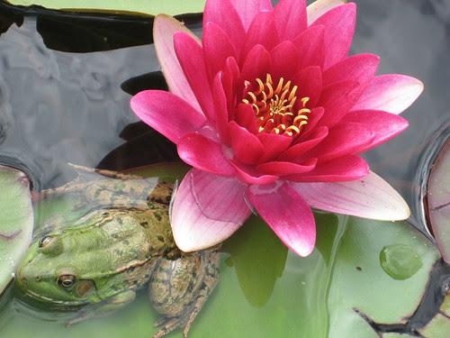 lilypad & frog