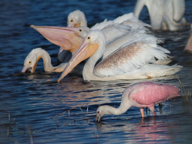 Pelicans with spoonbill 2-20121125