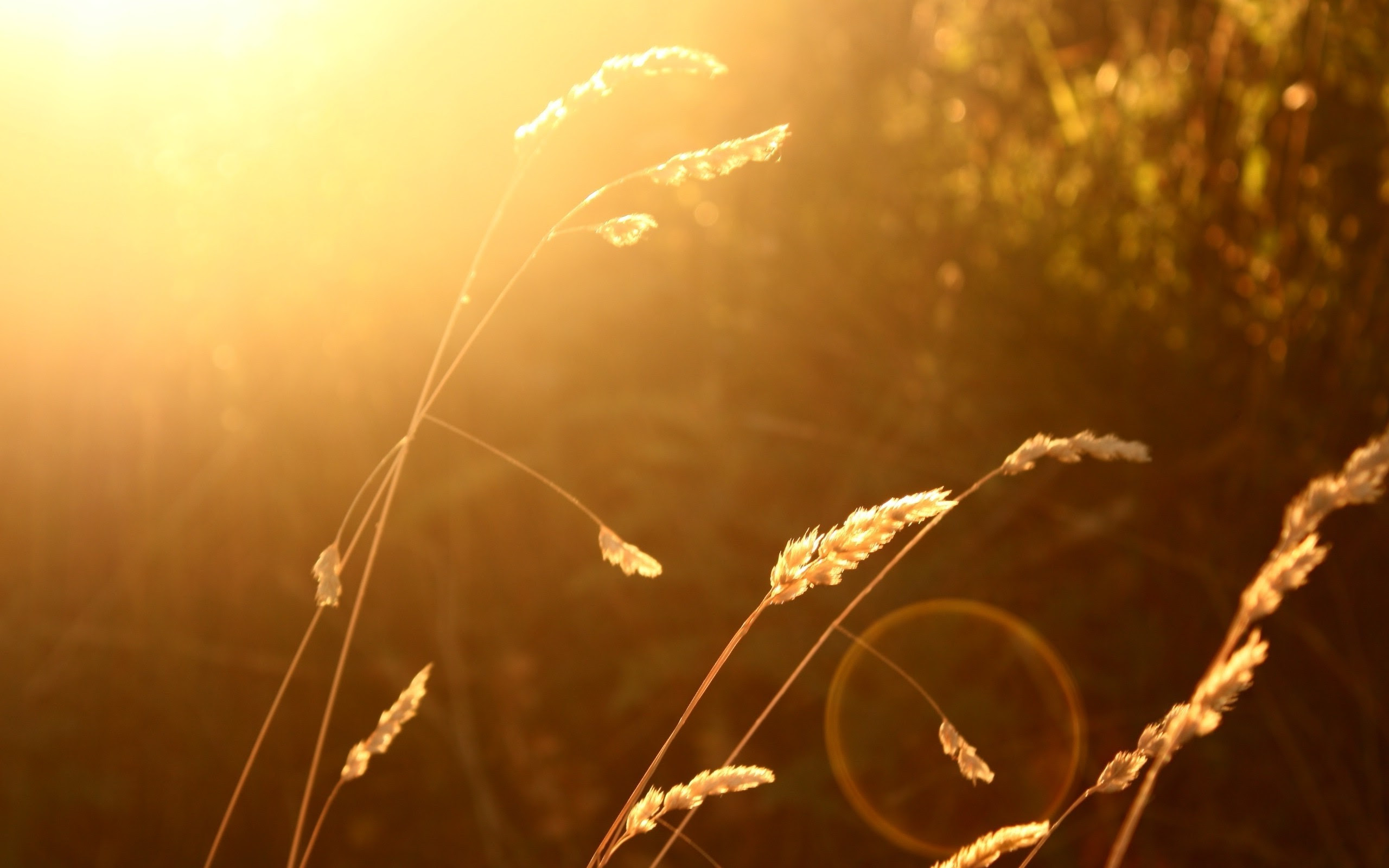 wheat, Sunlight, Blurred, Nature, Lens Flare Wallpapers HD ...