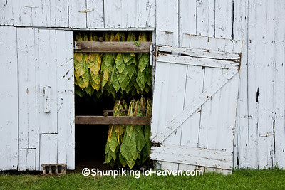 Tobacco Curing in the Barn, Dane County, Wisconsin
